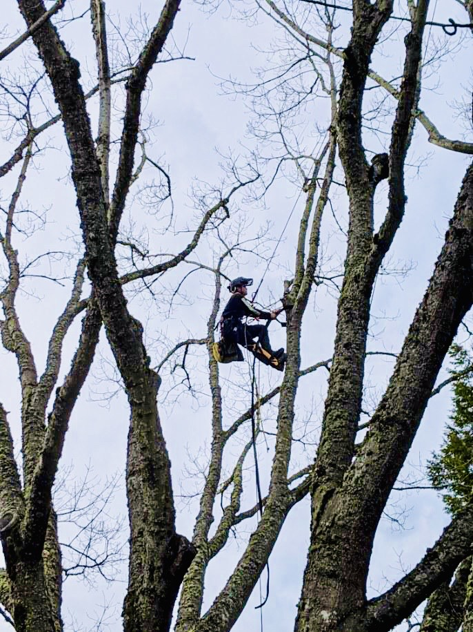 A member of Rich's Beaverton tree service cabling a tree