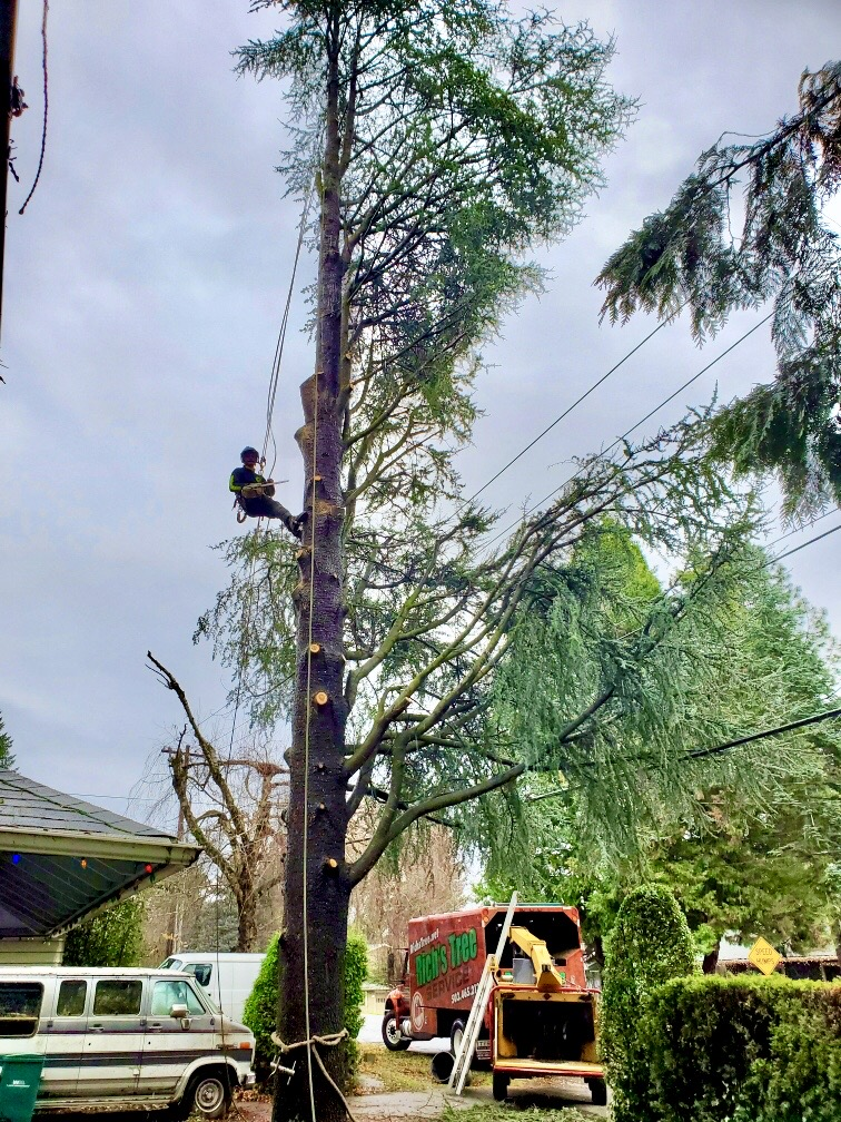 One of our Portland tree removal service team at work cutting back limbs